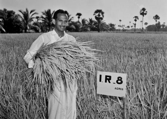 Anh nông dân Subba Rao trên cánh đồng IR8 đang thu hoạch