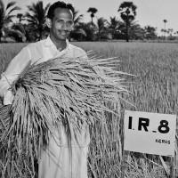 Giống lúa như phép màu cứu sống hàng triệu người