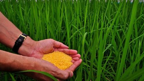 """Giống """"gạo vàng"""" do các nhà khoa học IRRI lai tạo."""