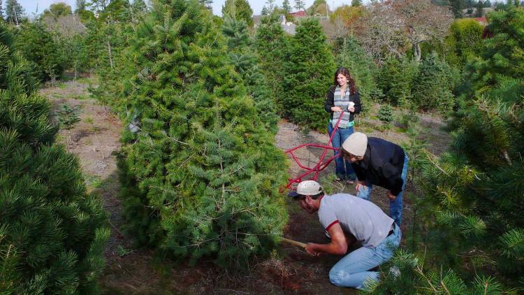 Những cây thông đạt tiêu chuẩn sẽ được cắt trước.
