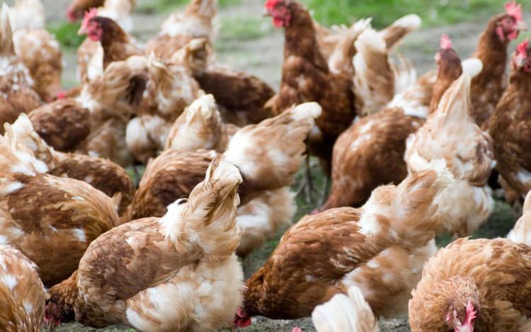 Dù đã nấu chín nhưng những vi khuẩn trong thịt gà vẫn có khả năng gây ra tiêu chảy, hội chứng kiết lỵ...