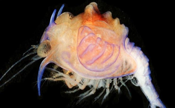 Dạng trưởng thành của loài này thực chất là một con tôm sống dưới vùng nước sâu.
