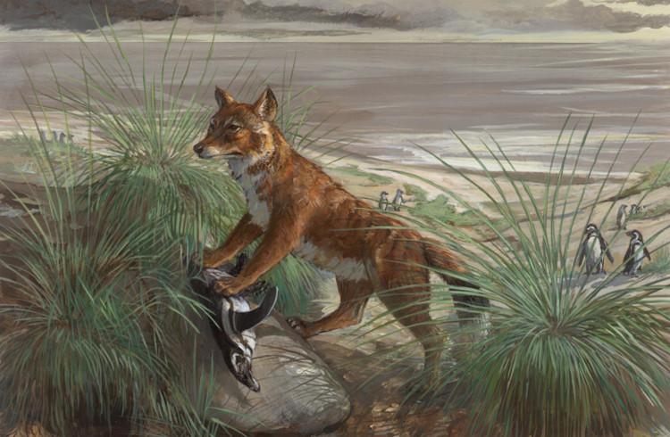Chó sói trên đảo Falkland.