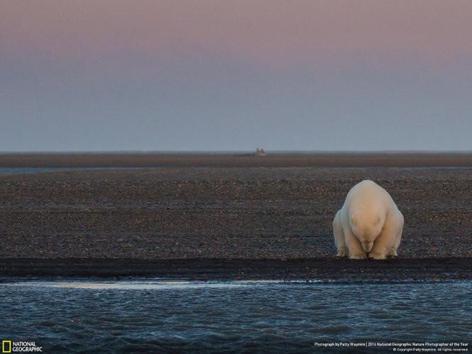Một con gấu đơn độc trên quần đảo Barter không băng, không tuyết.