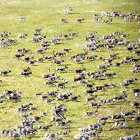 Bầy tuần lộc lớn nhất thế giới biến mất gần một nửa