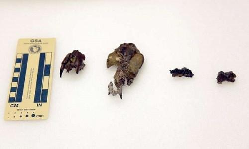 Bốn mẫu hóa thạch Didelphodon vorax được tìm thấy ở Mỹ.
