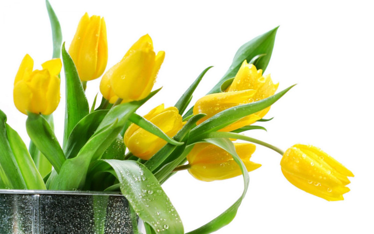 Hoa Tulip vàng rực rỡ như ánh mặt trời.