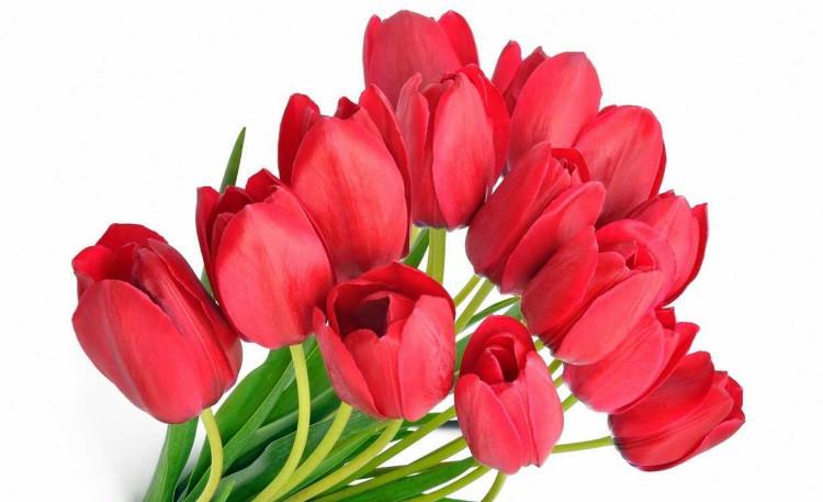 Hoa Tulip đỏ thể hiện cho tình yêu và sự lãng mạn.