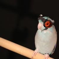 Mang kính thông minh cho vẹt để nghiên cứu robot bay