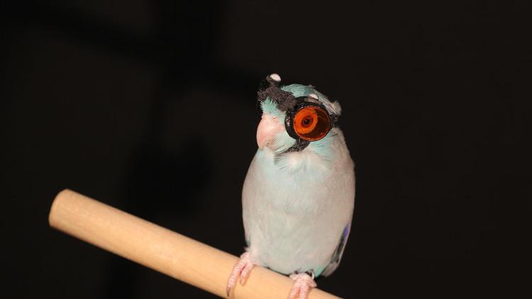 Những chú vẹt trong phòng thí nghiệm được mang kính thông minh sẫm màu để bảo vệ mắt.