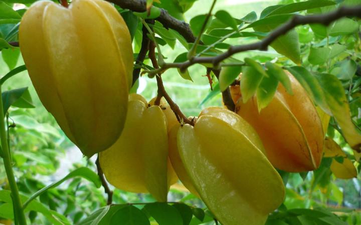 Khế chứa Vitamin C giúp tăng cường sức đề kháng, chống viêm nhiễm.