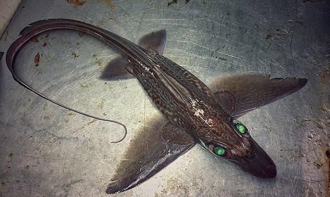 """Fedortsov cũng chia sẻ những bức ảnh của loài cá chimaera hay còn gọi là """"cá mập ma""""."""