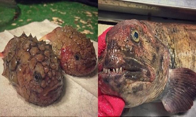Bộ sưu tập quái vật đại dương của Fedortsov chủ yếu gồm những loài cá hiếm gặp có hàm răng sắc như dao và thân hình kỳ dị.
