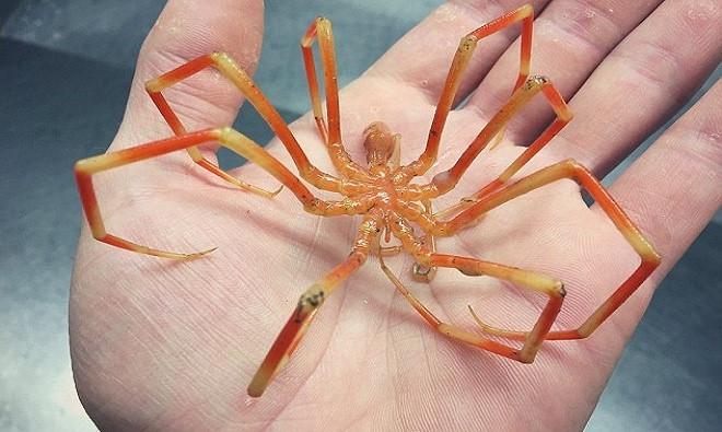 Fedortsov chụp hình một con nhện biển màu cam khổng lồ chân dài có kích thước lớn bằng bàn tay người.