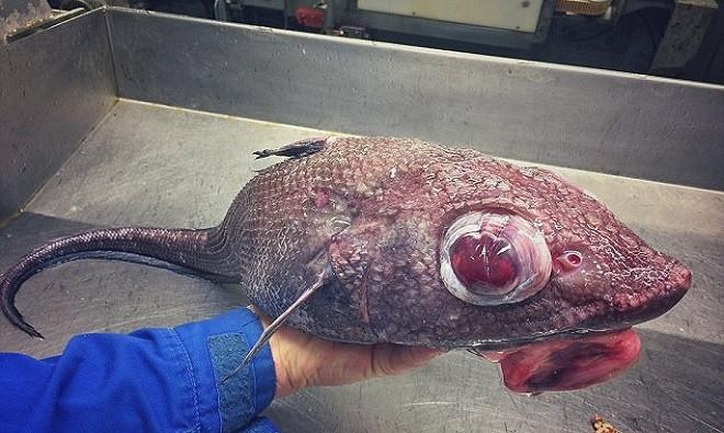Một phát hiện đáng chú ý khác của Fedortsov được cho là cá đuôi chuột có đôi mắt lồi màu đỏ và môi đỏ trề ra ngoài