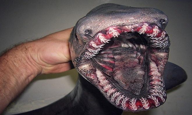 Trong số nhiều sinh vật lạ từng sa lưới của Fedortsov có cá nhám mang xếp, một loài cá mập hình dáng giống lươn có hàm răng lởm chởm