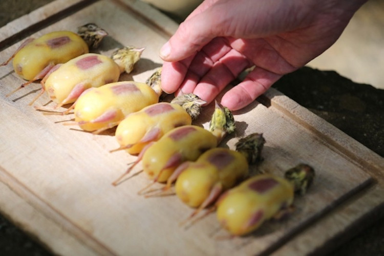 Sau khi bị nhấn chìm trong rượu Armagnac, lớp da của chim họa mi có màu ô liu và những thớ thịt ngấm vị ngon ngọt.