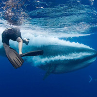 Ảnh cận cảnh cá voi ít được biết nhất thế giới