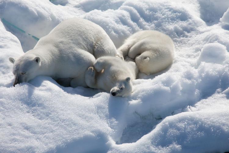 Lớp mỡ dày chính là tấm áo giáp giúp gấu Bắc Cực trải qua mùa đông lạnh giá.