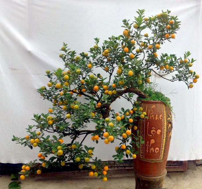 Một cây quất bonsai đẹp cho ngày Tết.