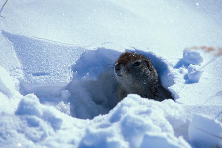 Sóc đất Bắc Cực có thể hạ nhiệt độ cơ thể xuống dưới mức đóng băng trong khi ngủ đông.