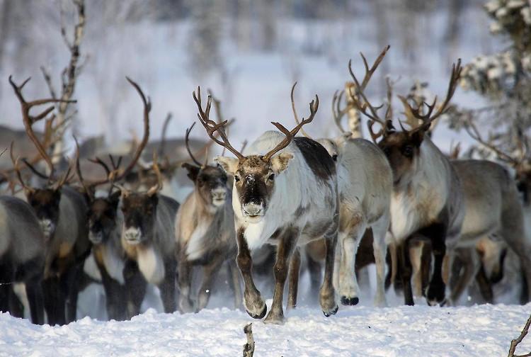 Để thích nghi với thời tiết khắc nghiệt ở Bắc Cực, tuần lộc phải thay đổi màu mắt.