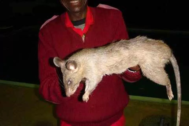 Chuột khổng lồ ở Nam Phi thường tấn công người gây tử vong.