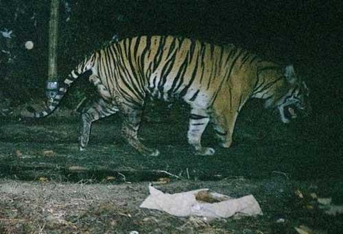 """Chú hổ """"ba chân"""" ở đảo Sumatra."""
