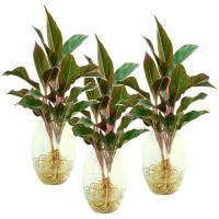 Kỹ thuật trồng cây phú quý mang tài lộc giàu sang cho gia chủ