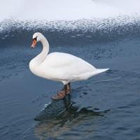 Tại sao chân chim không bị đông cứng vào mùa đông?