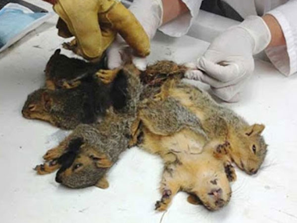 Các chuyên gia giúp 3 chú sóc tách rời đuôi ra.