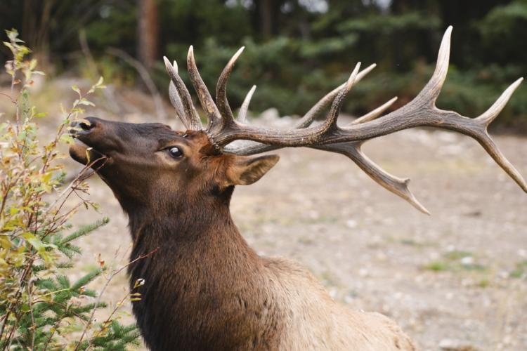 Nai sừng tấm là loài động vật có vú lớn ở Bắc Mỹ với vẻ ngoài đẹp.