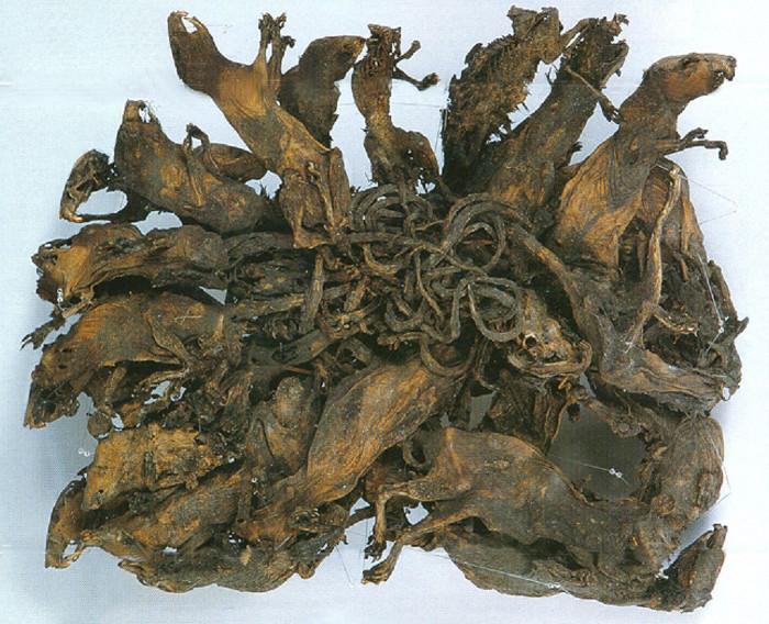 Vua chuột lớn nhất thế giới, trưng bày trong bảo tàng khoa học Mauritanium tại Altenburg (Đức).