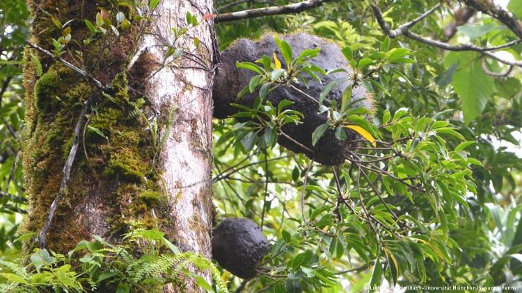 Tổ kiến trên thân cây Squamellaria.