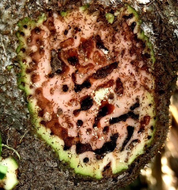Đàn kiến làm tổ bên trong cây Squamellaria.