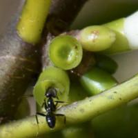 Loài kiến đặc biệt biết trồng cây để làm tổ trên đảo Fiji