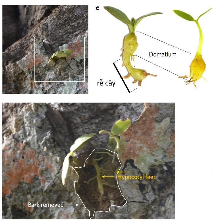 Lũ kiến sẽ tiếp tục cung cấp phân bón ngay cả sau khi cây đã trưởng thành, và ngược lại, cây mang đến quả ngọt và chỗ trú ẩn.