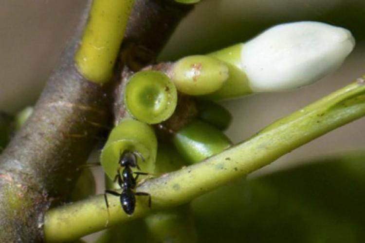 Loài kiến Philidris nagasau.