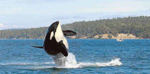 """Cá voi """"Granny"""" trong bức ảnh chụp năm 2010."""