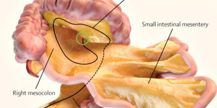 Cơ quan mới là màng ruột treo nằm trong hệ thống tiêu hóa