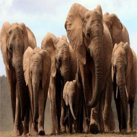 Voi châu Phi mất gene mọc ngà để tránh bị tuyệt chủng