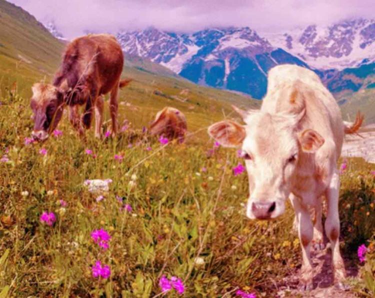 Hình ảnh mà mắt bò thu nhận được đều phản ánh bởi 2 màu đỏ hoặc cam.