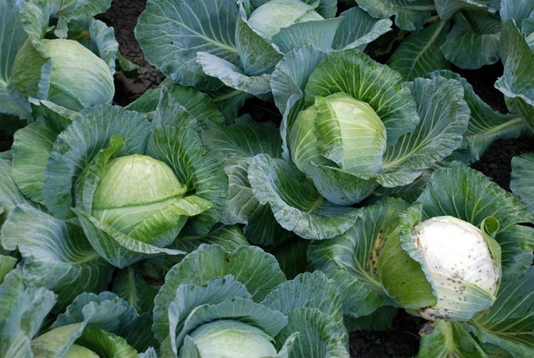 Bắp cải chứa các hợp chất lưu huỳnh có tác dụng tích cực trong cuộc chiến chống lại ung thư.