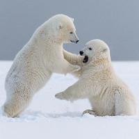 """Chất thải độc hại có thể gây ra hội chứng """"lưỡng tính"""" ở gấu Bắc Cực"""