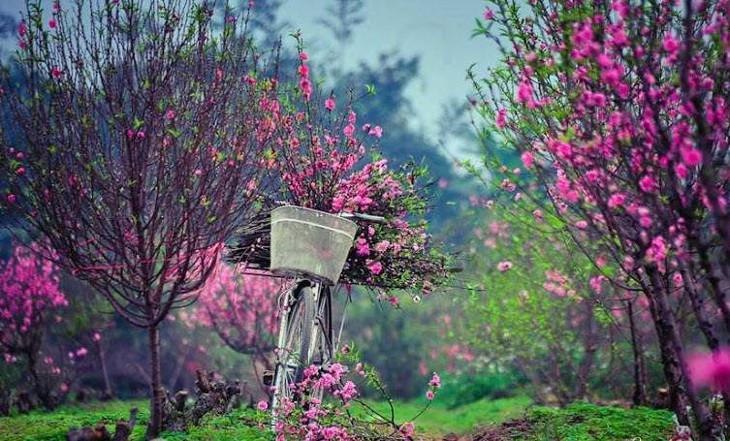 Vào giữa tháng 11 âm lịch, nếu thời tiết nồm ẩm kéo dài, nụ hoa sẽ nhú to, hoa đào có khả năng sẽ nở sớm thì phải hãm lại.