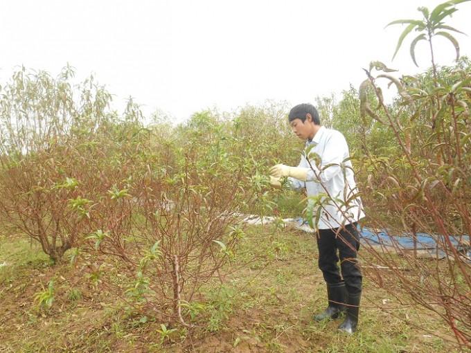 Song song với việc khoanh hãm đào, bà con nên tuốt lá trước thời điểm sắp đến Tết âm lịch 2 tháng.