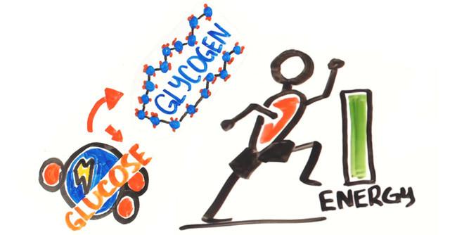 Cơ thể sử dụng glucose như nguồn nhiên liệu ưu tiên. Nó sẽ đốt glucose, một khi vẫn còn glycogen dự trữ.