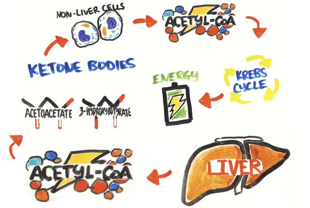 Quá trình ketosis, khi cơ thể đốt cháy chất béo thay vì glucose cho nhu cầu năng lượng.