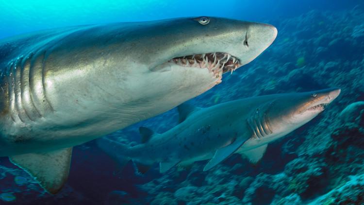 Cá mập hổ cát (Carcharias Taurus) con ăn thịt lẫn nhau từ trong bụng mẹ.