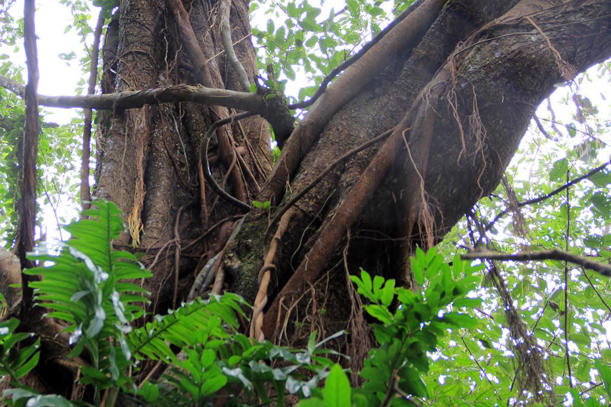 Cây đa mọc trên núi đá, vẫn phát triển mạnh, tán phủ lên mái chùa càng tạo thêm nét cổ kính.